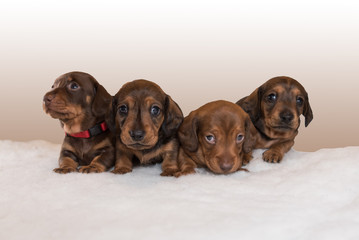 Four miniature dachshund puppies sitting on fluffy blanket in a row