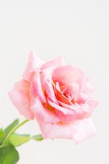 白背景のピンクのバラ