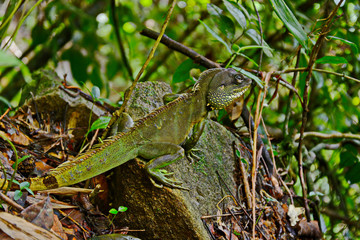 A green iguana standing/This arboreal lizard is also known as common iguana.