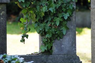 Efeu auf einem Grabstein