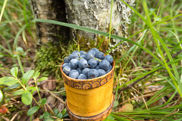 Berry Blueberries in wooden box of tuesok against forest background