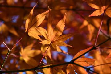 陽に透ける紅葉