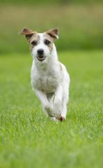 Parson Russell Terrier rennt durch Wiese