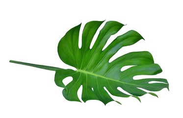 Monstera tropical jungle leaf, Swiss Cheese Plant, table top design pattern, isolated on white background