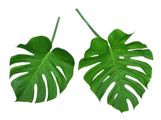 Monstera leaves, tropical design foliage, Swiss Cheese Plant, isolated on white background