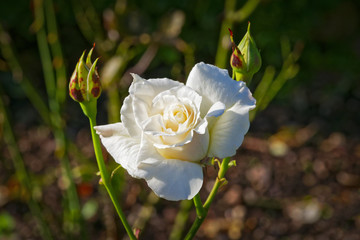 White rose in bloom between two buds in the summer sun