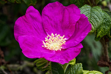 Close up of a deep pink Dog Rose with light yellow stamen growing on a bush with dark green foliage in the background