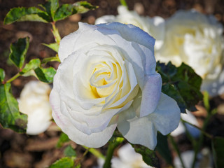 Close up of a white rose named 'the summer sun' after light rain.