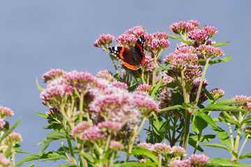 A Red Admiral butterfly resting on a pink and white flower against a blue summer sky
