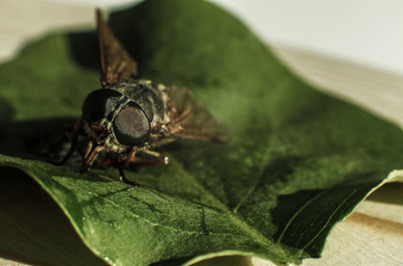 Breeze (horsefly, gadfly) on the green leaf macro portrait