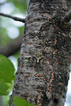 Small cicada -Platypleura kaempferi- is staying at the cherry tree trunk in Fukuoka city, JAPAN.