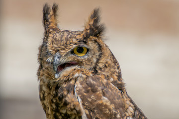 Spotted eagle owl close up
