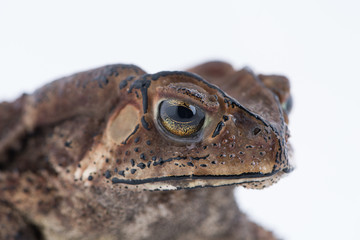 Asian common toad on white background,Amphibian of Thailand