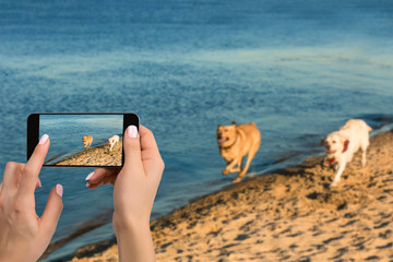 Woman hands with mobile cell phone to take a photo of as two labrador run along the river bank