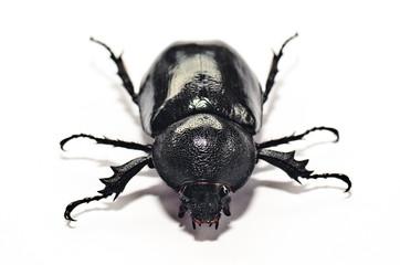 beetle Lucanus cervus female isolated on white background,