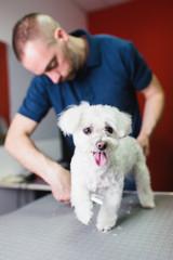 Male groomer cutting Maltese dog's coat at grooming salon.