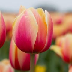 Aluminium Prints Tulip Dutch tulips