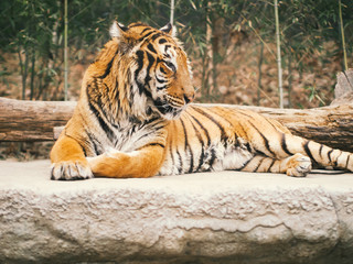 bengal tiger sit on floor with soft focus forest background