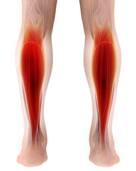 3D illustration of gastrocnemius, Part of Legs Muscle Anatomy