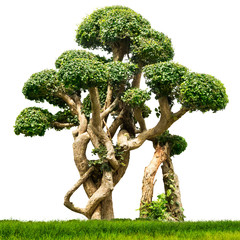 Bonsai houseplant isolated