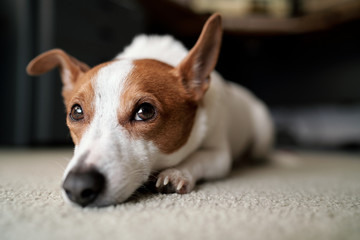 Jack Russell Dog Lying Glumly on Carpeted Floor