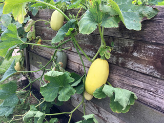 Spaghetti squash plant growing from a wooden container