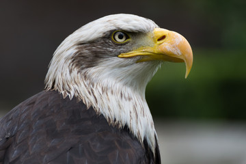 Bald eagle close up, bird of prey