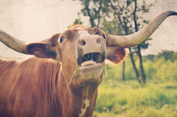 Wall Mural - Funny longhorn farm cow with mouth open and tongue showing, clearly eating some grass.