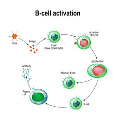 Activation of B-cell leukocytes
