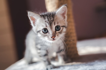 beautiful little gray kitten with blue eyes, Scottish breed