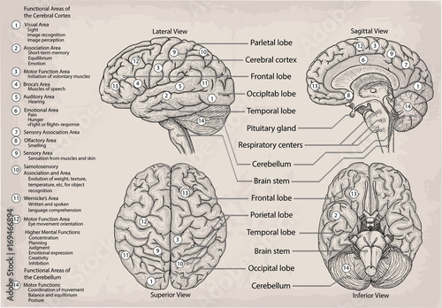 Anatomical Diagram Of Human Brain Medicine Vector Illustration