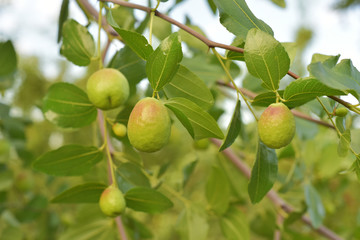Jojoba green plant