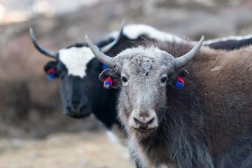 Durchgestylte Yaks auf dem Annapurna Circuit bei Yak Kharka, Nepal