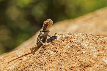 Lizard peering over a rock