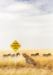 Cheetah Sitting at Wildlife Crossing Sign