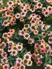 Close up of Echinacea flowerbed