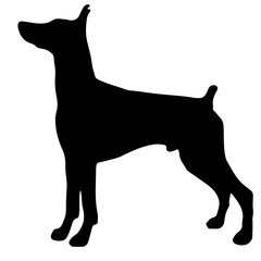 Silhouette of a dog.Vector illustration of doberman pinscher.