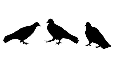 Pigeons silhouette on white background