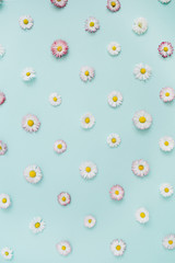 Floral pattern of white and pink chamomile daisy flowers on blue background. Flat lay, top view. Floral background. Pattern of flower buds.