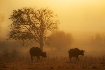 Cape buffalo grazing in field