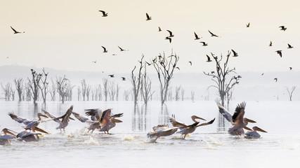 Pelicans in Lake Nakur