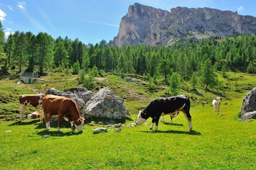 Cows in Passo Giau Hut, San Vito di Cadore and Cortina d'Ampezzo valley, Dolomite Alps, Province of Belluno, Veneto Region, Italy