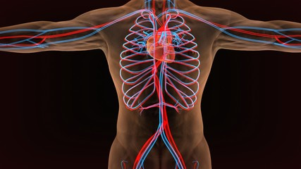 3d illustration of circulatory system