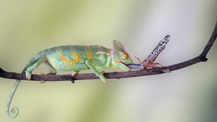 chameleon catches language. insect locusts. Moment of the hunt