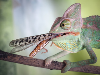 chameleon with a large insect in his mouth. Portrait