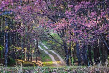 Beautiful Wild Himalayan Cherry blossom in Khun Mae Ya, Chiang Mai, Thailand