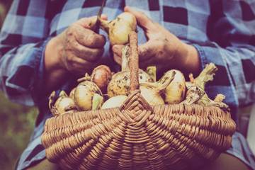 Organic vegetables, farmer with harvested produce. Farmers hands working at harvest the onion.