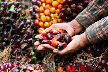 Fresh Palm oil seed in farmer hands preparing to make oil,