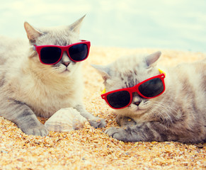 Two cats wearing sunglasses relaxing on the beach