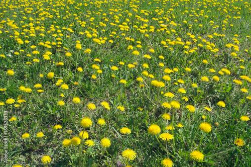 Dandelions frowering at spring